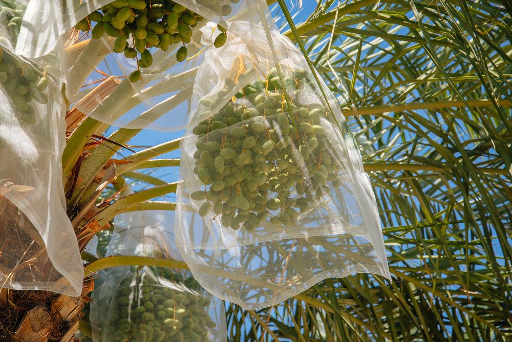 bagging dates-11.jpg