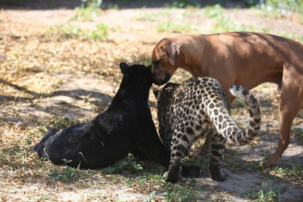 leopard_4_20170922_1783060694-view=image&format=raw&type=orig&id=273.jpg