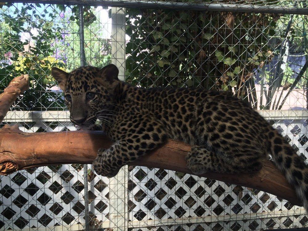 leopard_1_20170922_1969869990-view=image&format=raw&type=orig&id=270.jpg