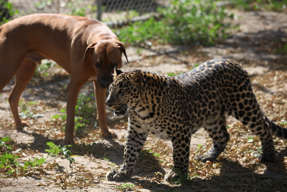 leopards_1_20170915_1120198903-view=image&format=raw&type=orig&id=173.jpg