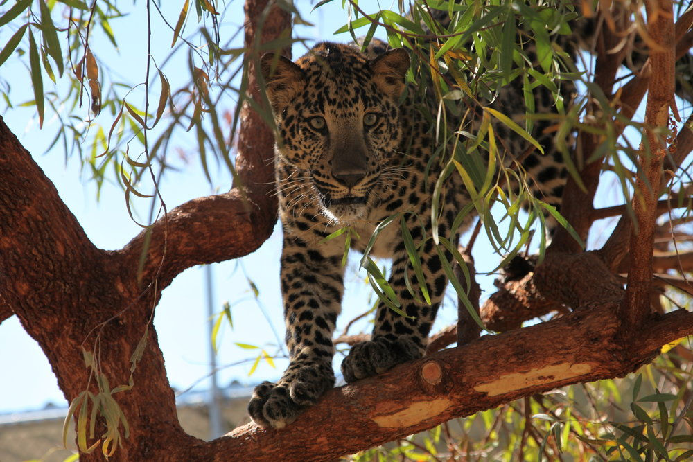 leopards_2_20170915_1084057364-view=image&format=raw&type=orig&id=170.jpg