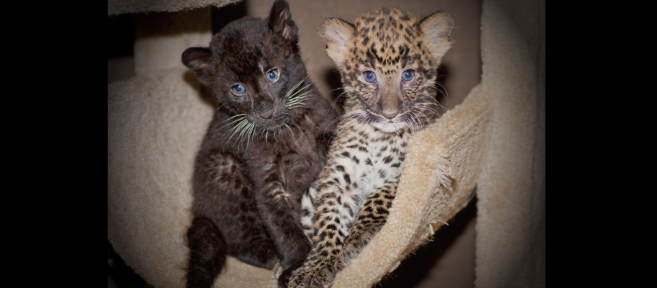 leopards_3_20170915_1101551986-view=image&format=raw&type=orig&id=167.jpg