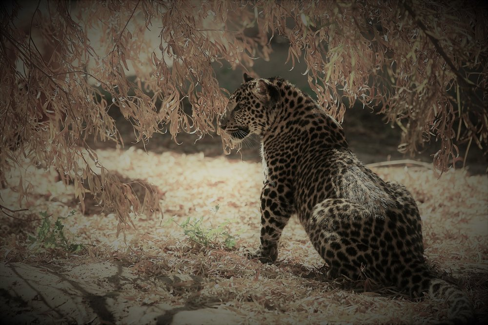 leopards_3_20170915_1930585375-view=image&format=raw&type=orig&id=171.jpg
