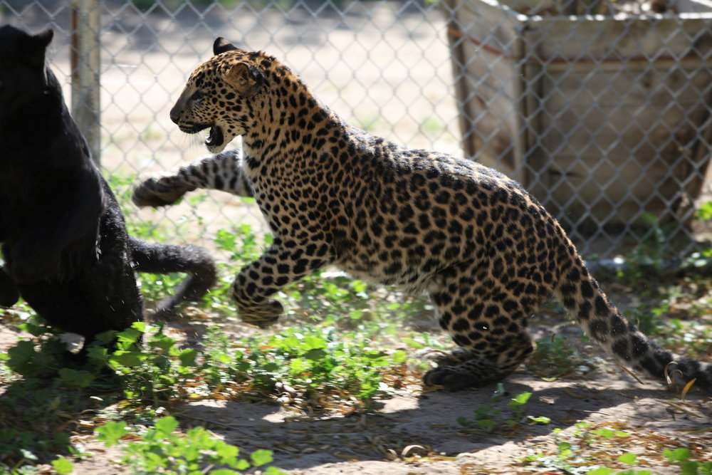 leopards_4_20170915_1587986606-view=image&format=raw&type=orig&id=172.jpg