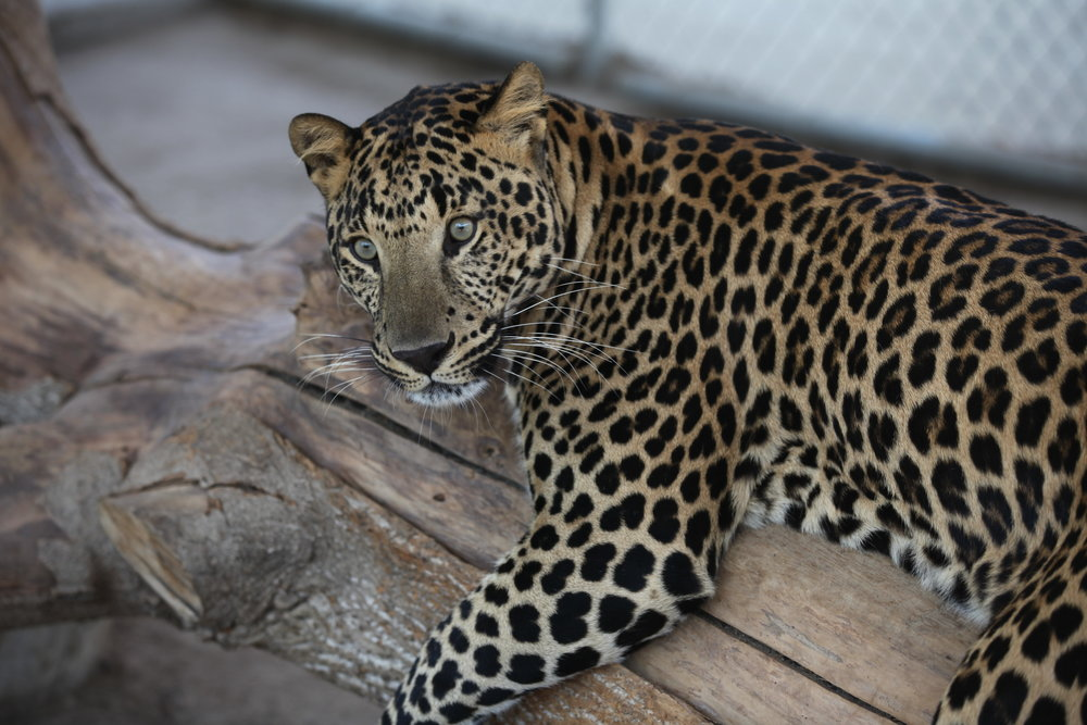 leopards_6_20170915_1876995012-view=image&format=raw&type=orig&id=178.jpg