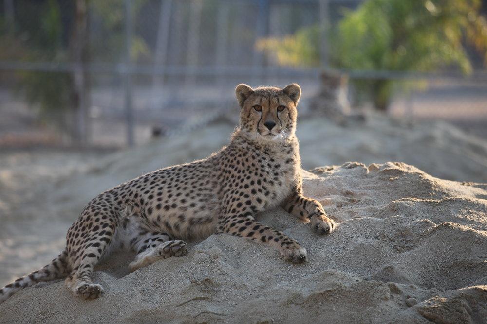 cheetah_1_20170915_1703319067-view=image&format=raw&type=orig&id=202.jpg