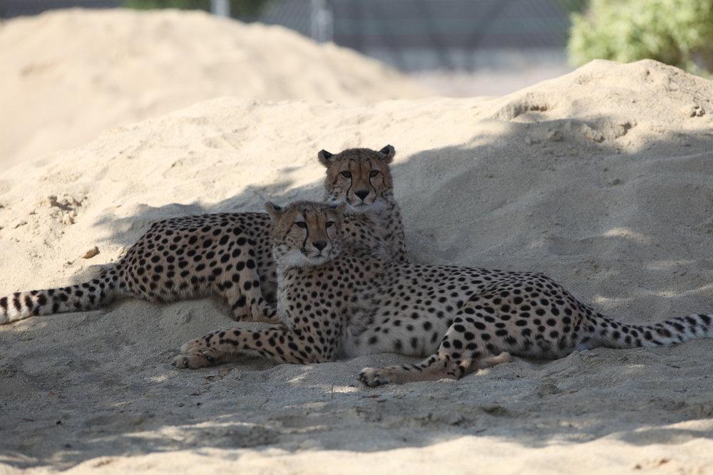 cheetah_6_20170915_1962688302-view=image&format=raw&type=orig&id=199.jpg