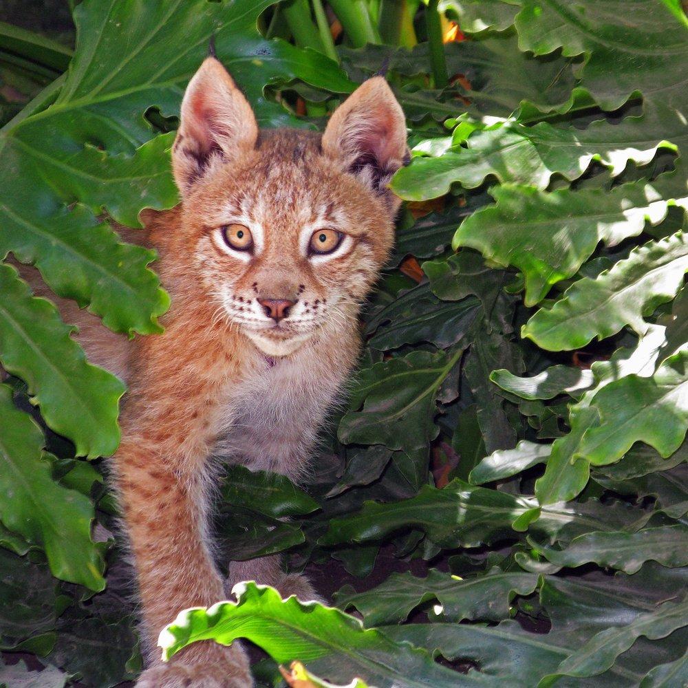 Feline -