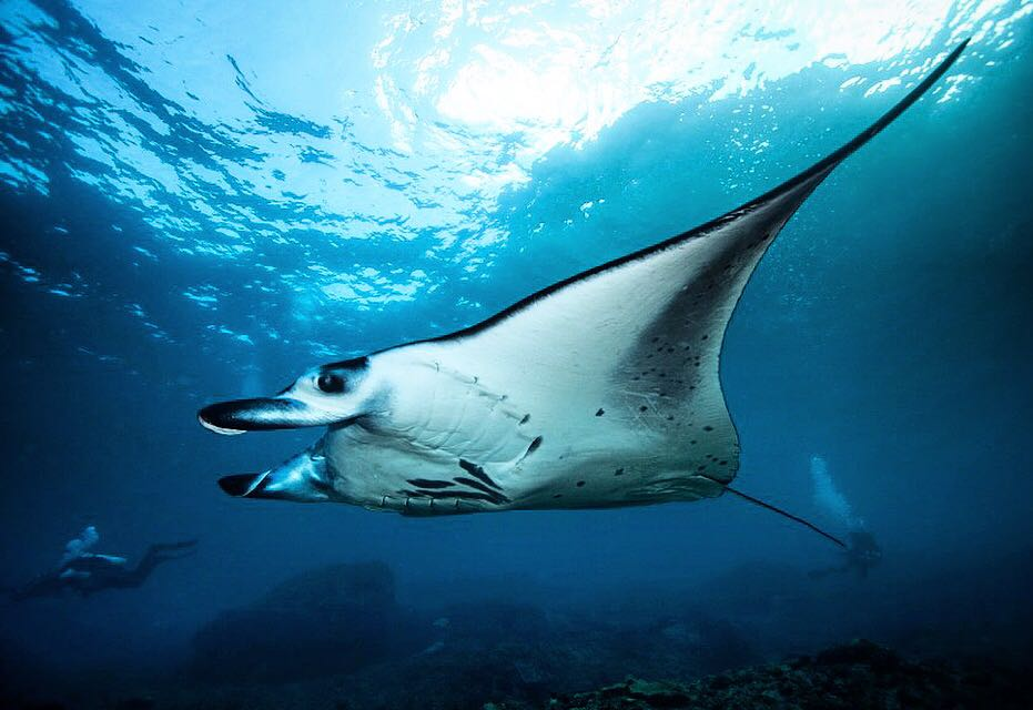 Manta ray at Bali with Lacadives dive travel