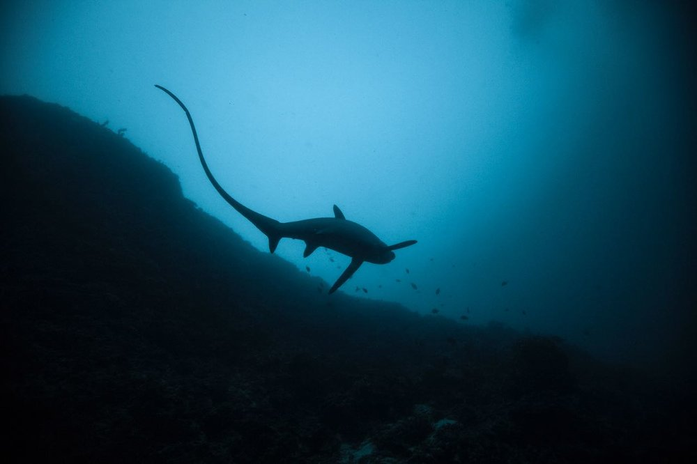 Thresher shark at Malapascua with Lacadives dive travel