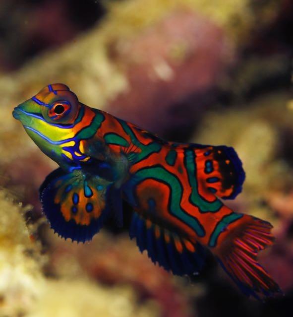 Mandarin fish at Raja Ampat with Lacadives dive travel