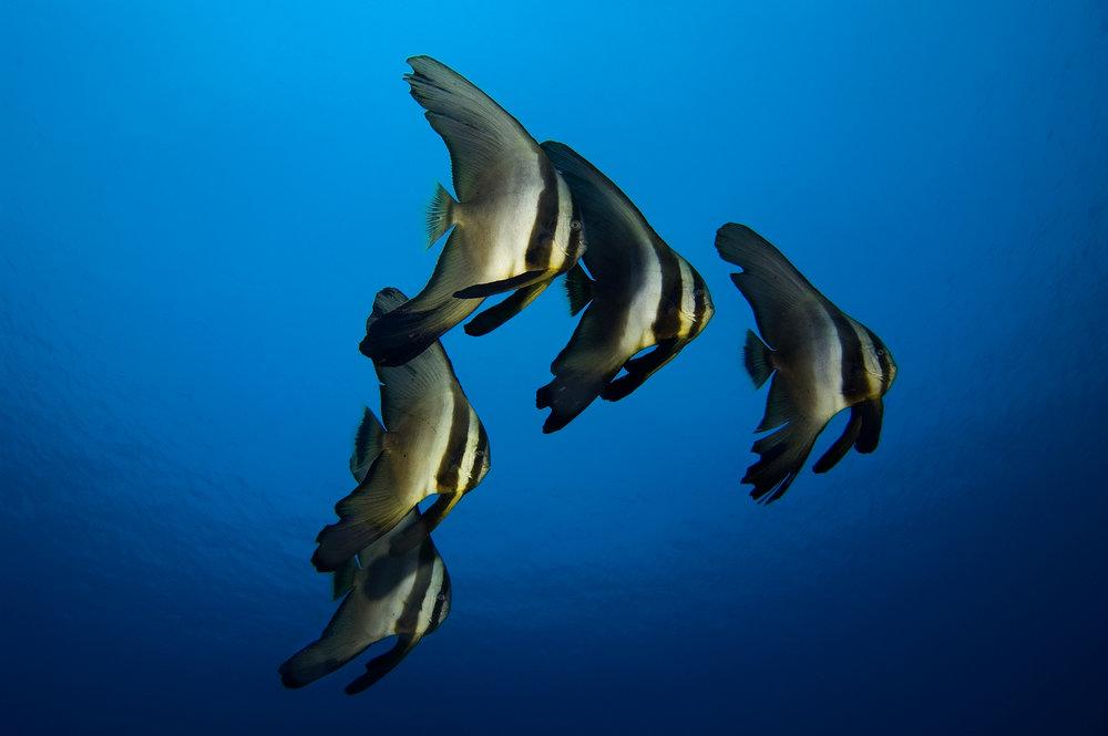 bat fish triangle.jpg