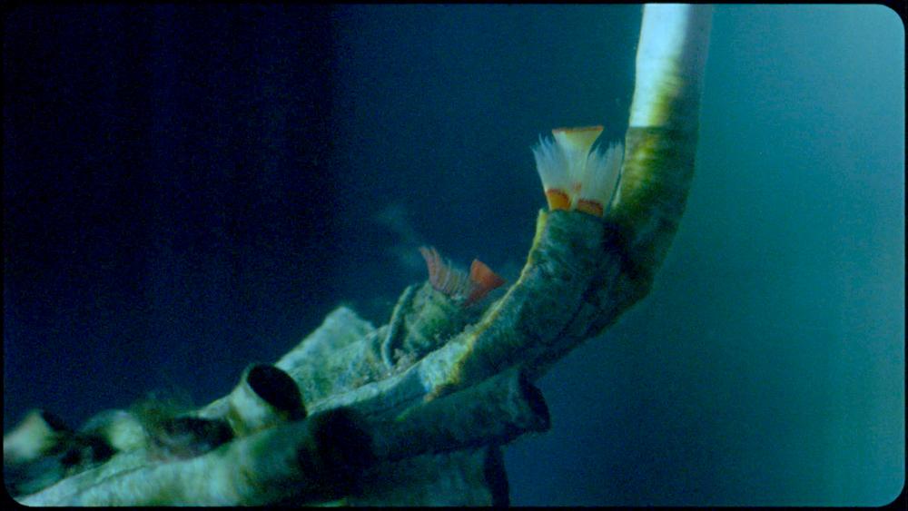 Serpulid Worm from 'Cladach'