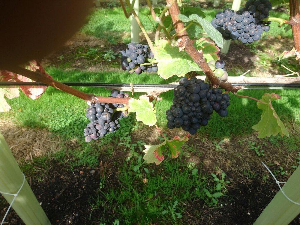 Véraison in the Pinot in September