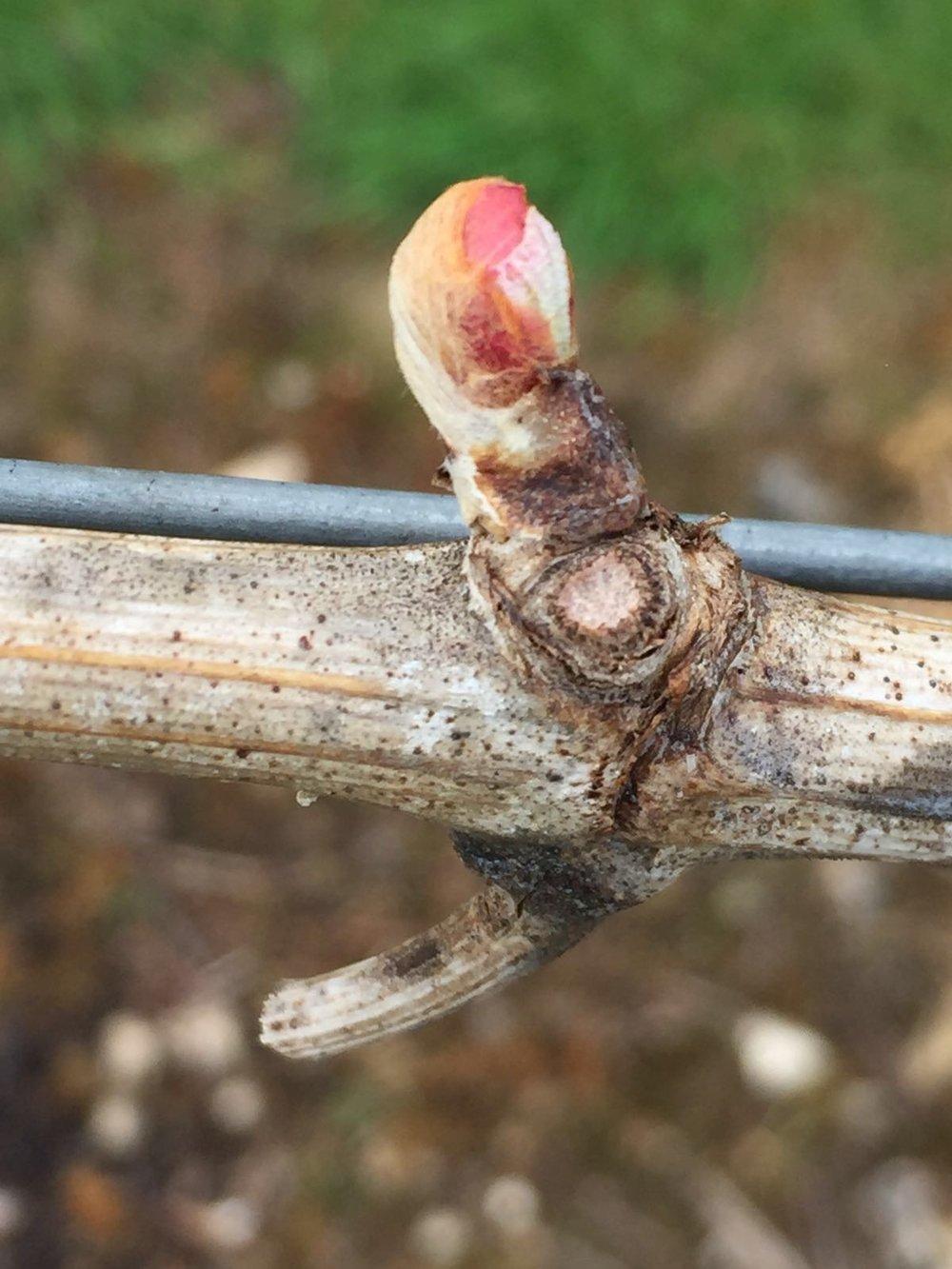 Bud burst in April