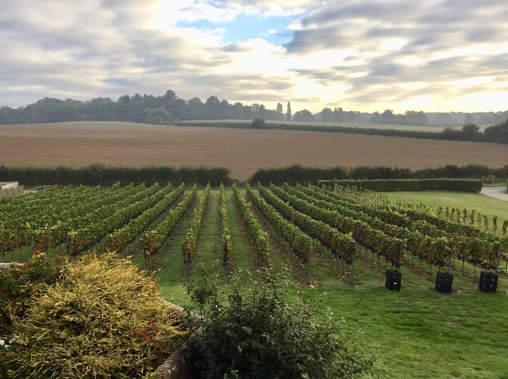 The pinot rows pre harvest - October