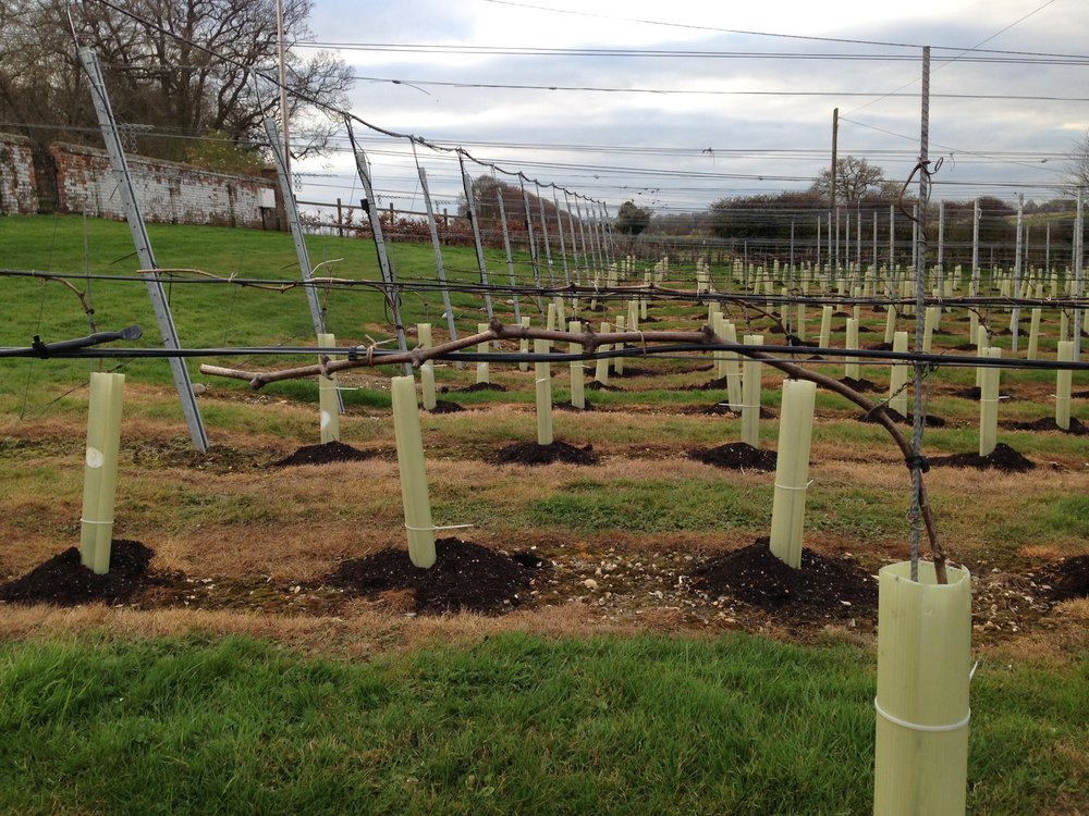 Cane pruned to single guyot system - March