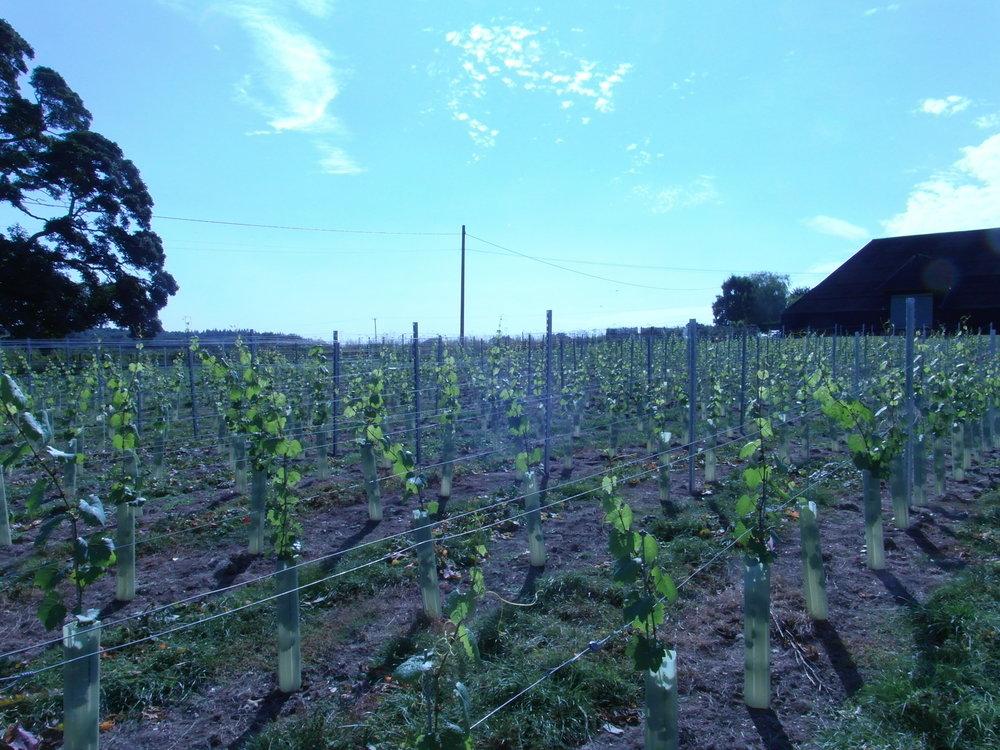 1st year vines in the sun copy.JPG