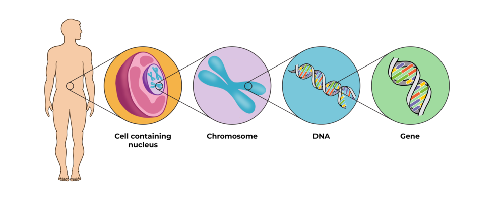 organism cell chromosome .png