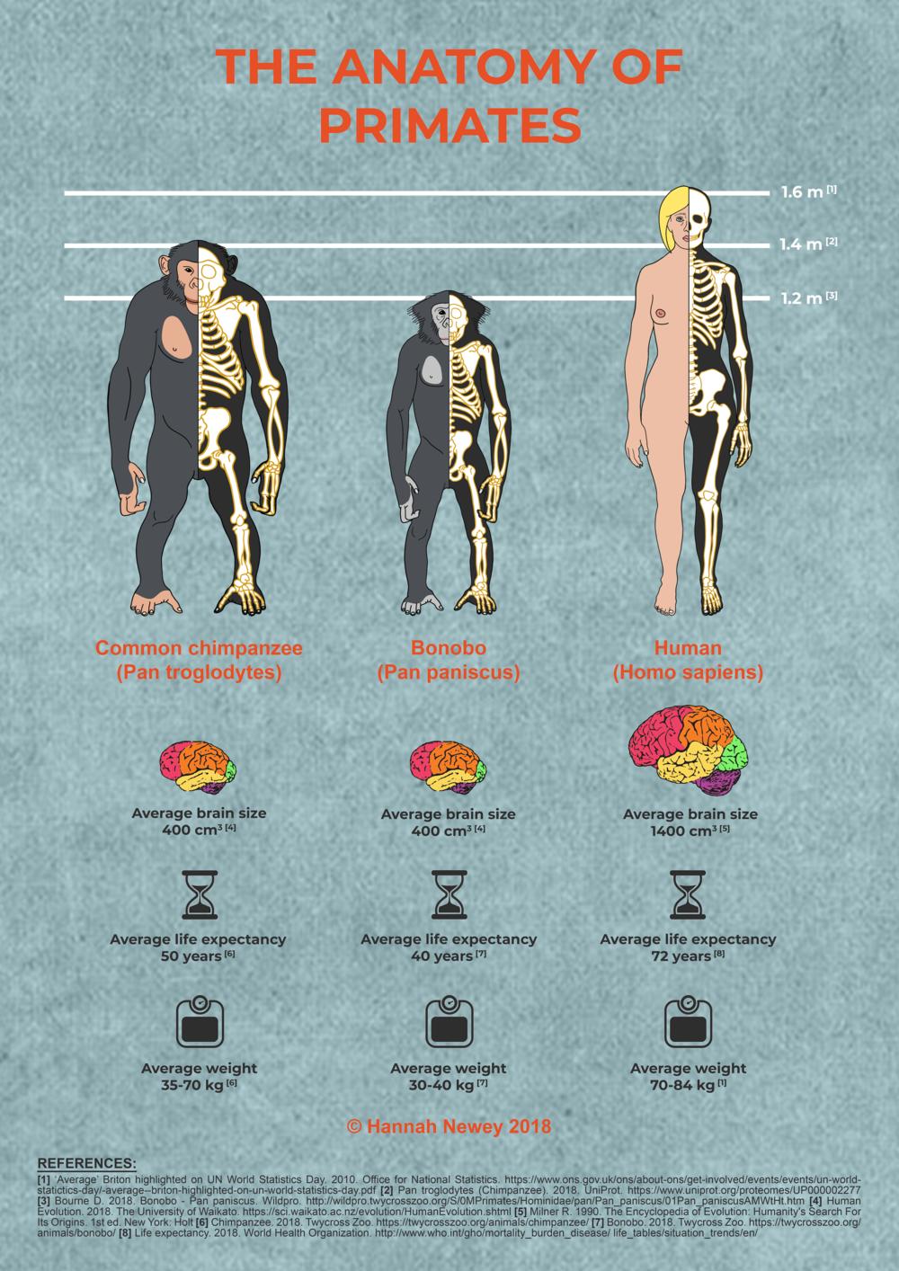 comparative anatomy of bonobo chimpanzee and human.png