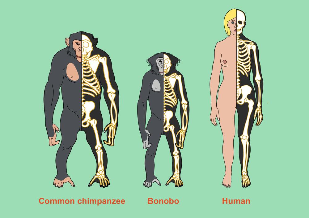 Chimp bonobo human standalone.png
