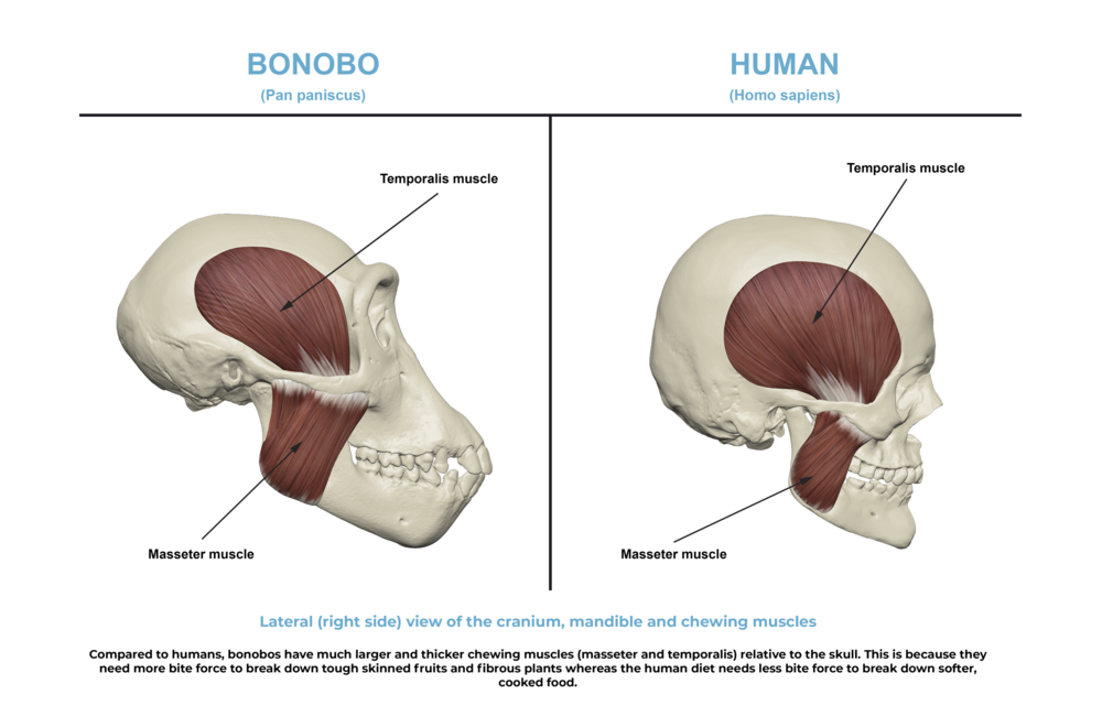 Comparative anatomy guide_ chewing muscles.png