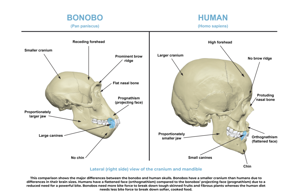 Comparative anatomy_skull side.png