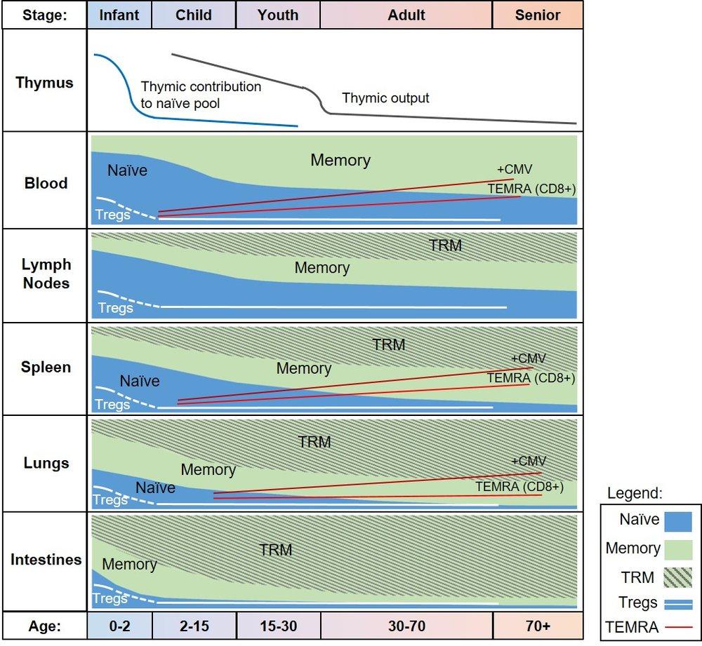 Human immunity over life.jpg