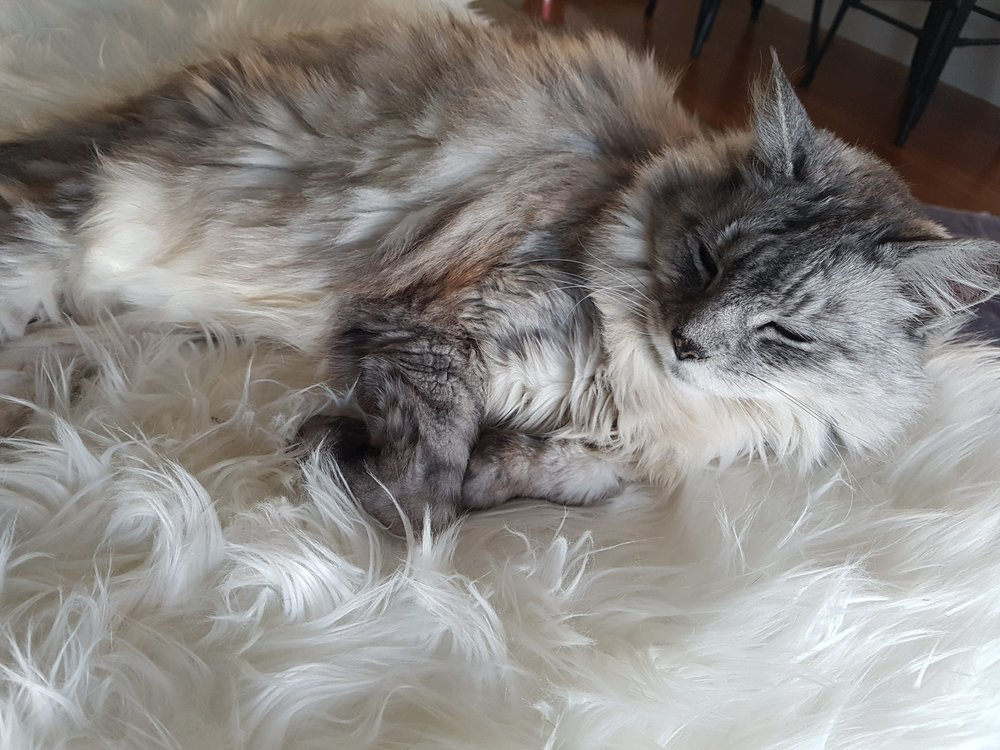 Greyfy the fat fluffy cat sleeping on a fluffly rug