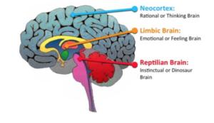 Limbic-brain-300x173.png