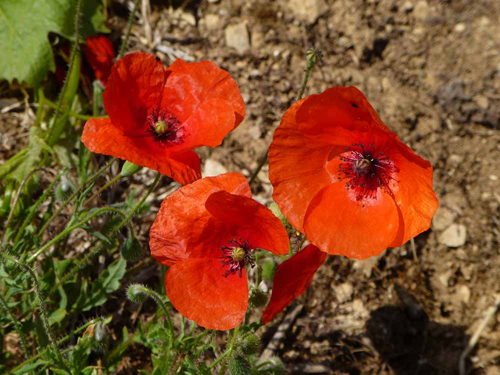 Poppies in Burgundy.jpg