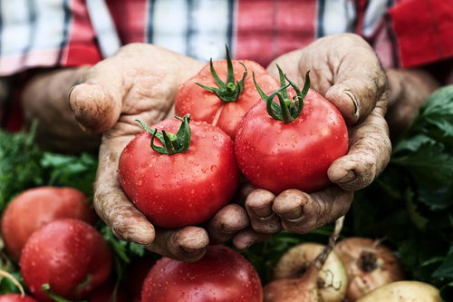 Hands-holding-tomato-harvestcluse-up-000089181723_Full+copy.jpg