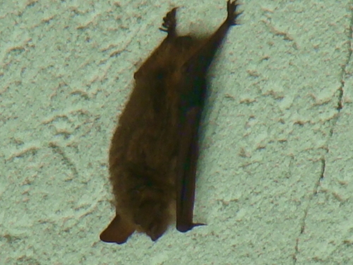 Sleeping bat. Bats will never enter your home or garage deliberately.