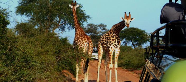 3-days-murchison-falls-safari-giraffes-uganda.jpg