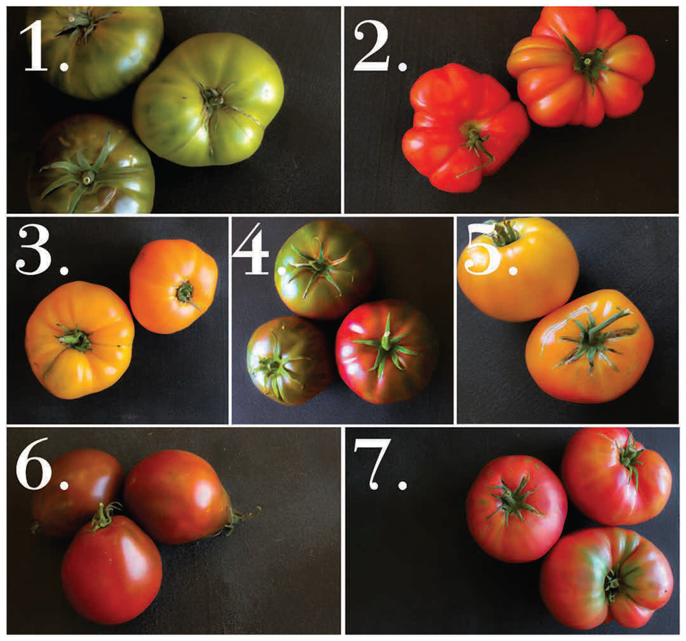 layout tomatoes.png
