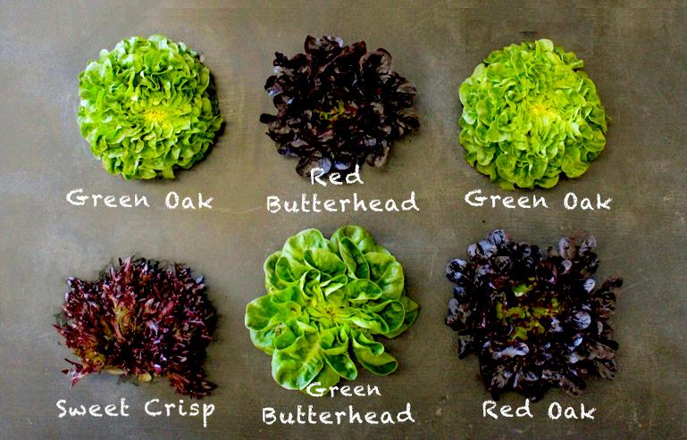 salanova varieties.jpg