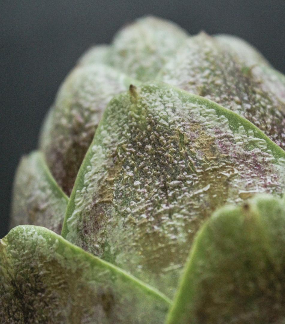 frosty_the artichoke(2).jpg