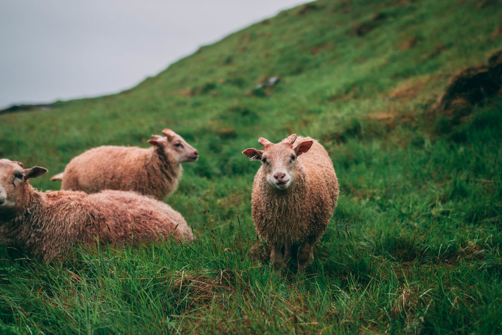 Icelandic Sheep, Western Fjords.