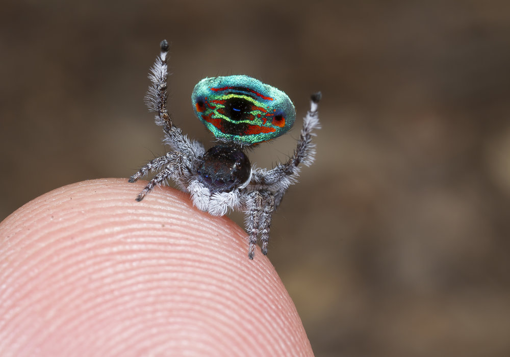 Adult male of Maratus sarahae, one of the giants. This species and Maratus caeruleus are the largest peacock spiders