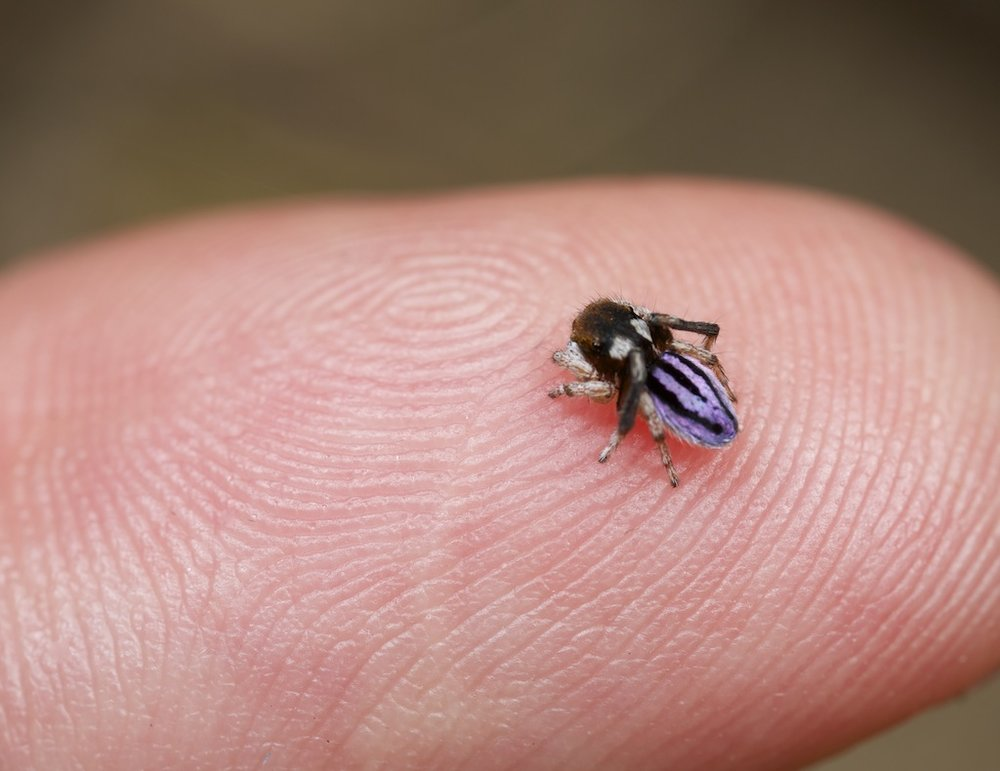 Adult male of Maratus neptunus, a medium sized species on my index finger