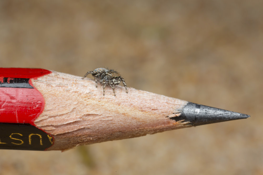Adult male of Maratus spicatus on an ordinary sized pencil