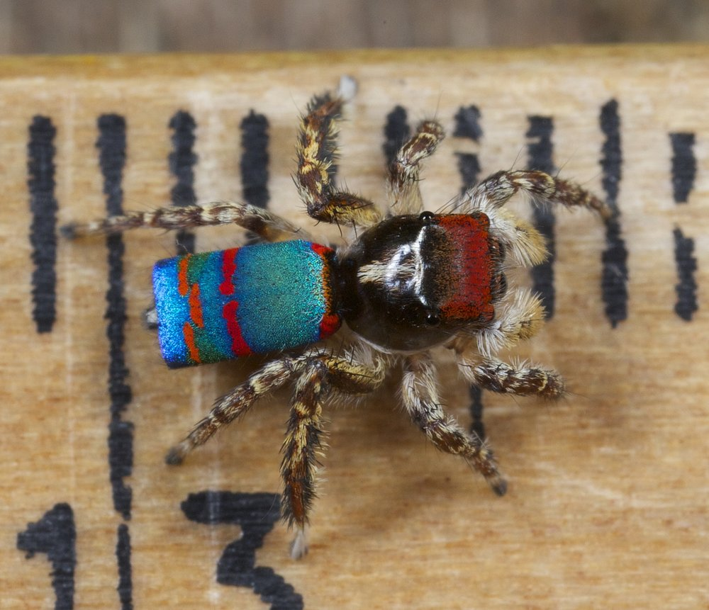 Maratus caeruleus, one of the two largest peacock spider, almost 5 mm in length, on a ruler
