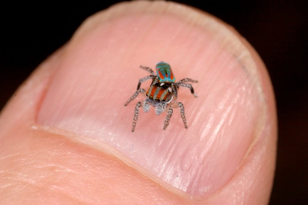 Adult male Maratus volans on my thumb nail. Definitely one of the larger species