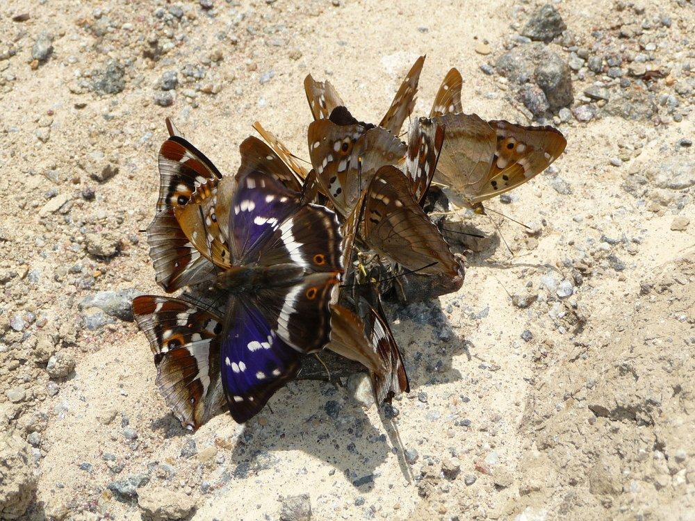 purple-emperor-552092_1920.jpg