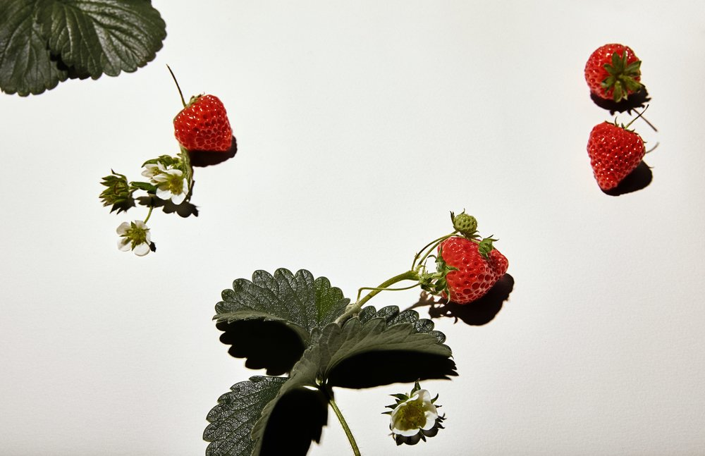 What makes the OISHII berry so special?  From flower to harvest, each berry receives the full attention and care from our team of experienced growers. We draw upon years of knowledge from Japan to bring out the purest strawberry imaginable. No pesticides or harmful chemicals are added.