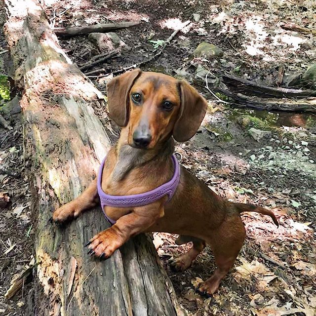 Murray was pretty upset we missed #nationalhotdogday, so here he is striking his best wiener pose 😝 . . . #neighborhoodpaws #dogwalker #dogwalking #somervillema #somervilledogs #cambridgema #cambridgedogs #dogsofig #instapup #petcare #petservice #dachshund #dachshundsofinstagram #hikingwithdogs
