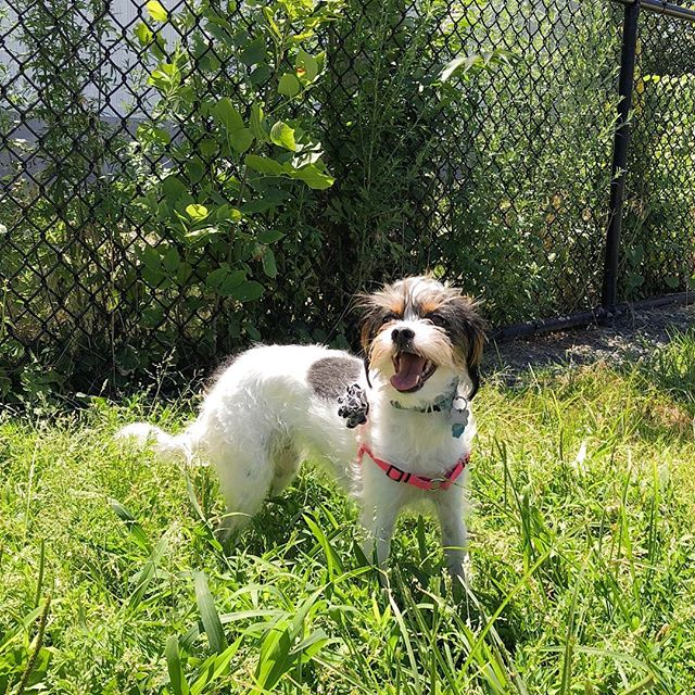 Our newest pack member, Zelda, is ready for a week of running around the dog park with new friends. What's your #mondaymotivation?! 🙌🏽 . . . #neighborhoodpaws #dogwalker #dogwalking #somervillema #somervilledogs #cambridgema #cambridgedogs #dogsofig #instapup #petcare #petservice #jackrussellterrier #terrier #terriermix #dachshund