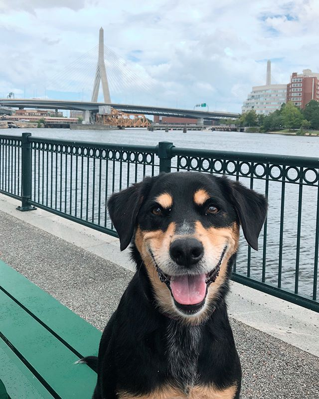 Did some local sightseeing with Willis today 😊 . . . #neighborhoodpaws #dogwalker #dogwalking #somervillema #somervilledogs #cambridgema #cambridgedogs #dogsofig #instapup #petcare #petservice #houndmix #mixedbreed #boston #zakimbridge #sightseeing