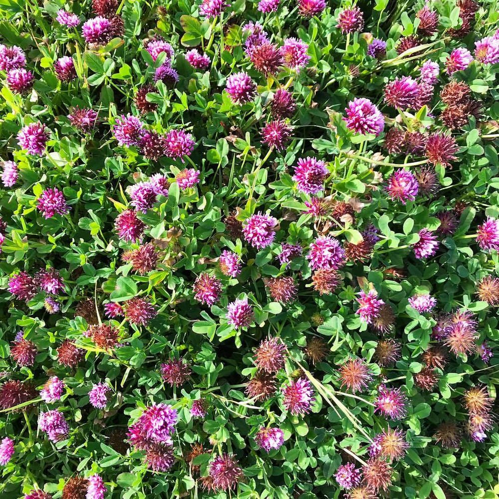 A bed of clover.  -  #summerflowers #california #westmarin  (at Point Reyes National Seashore)