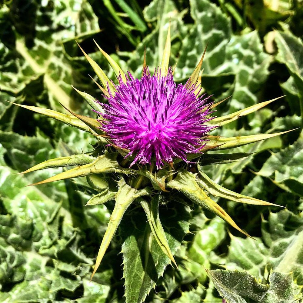 Thistle.  -  #california #spring #wildflowers #thistle #bewarethethorns  (at Point Reyes National Seashore)